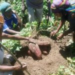 Sweet Potatoes Potential in Papua and West Papua